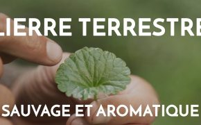 video le lierre terrestre plante aromatique