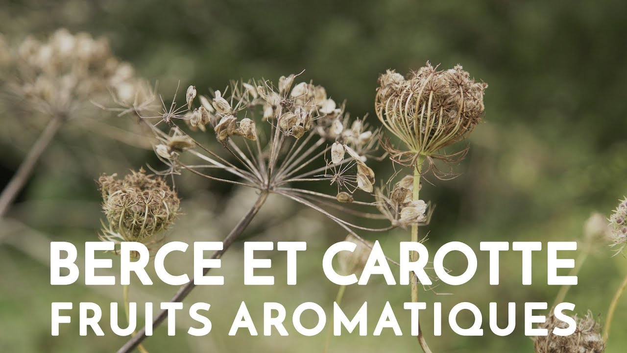 berce carotte fruits aromatiques