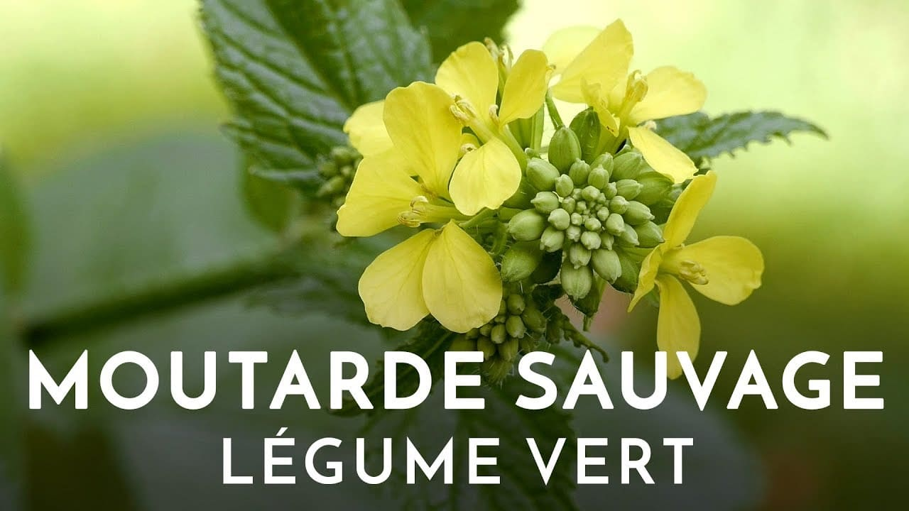 moutarde sauvage