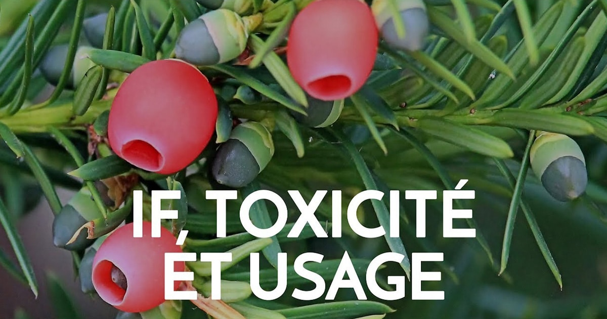 if toxicite et usage