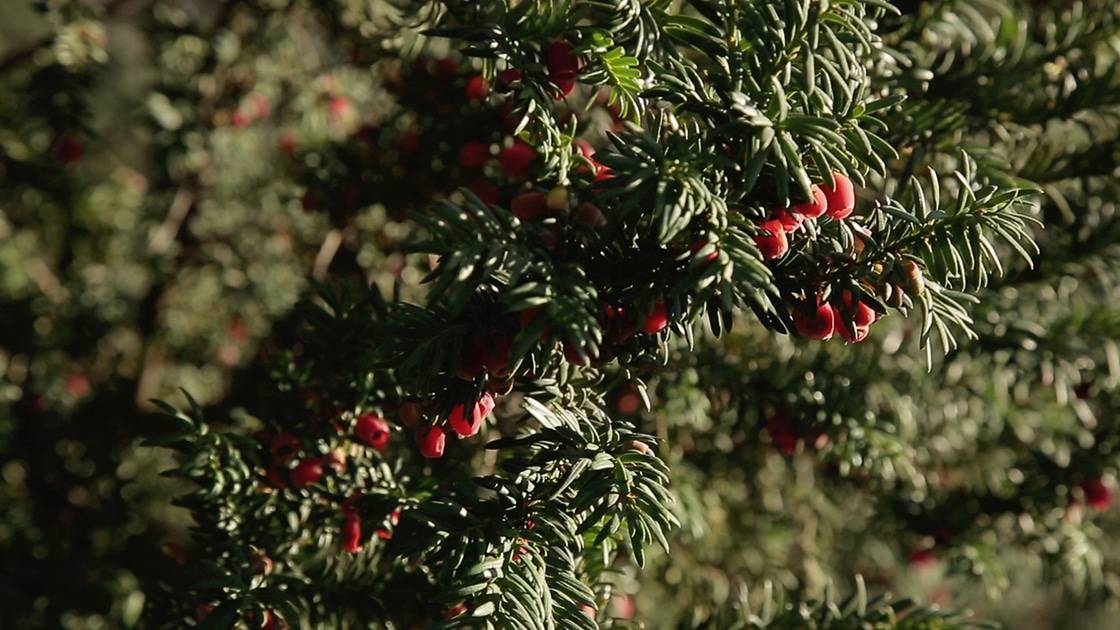 if taxus baccata arille