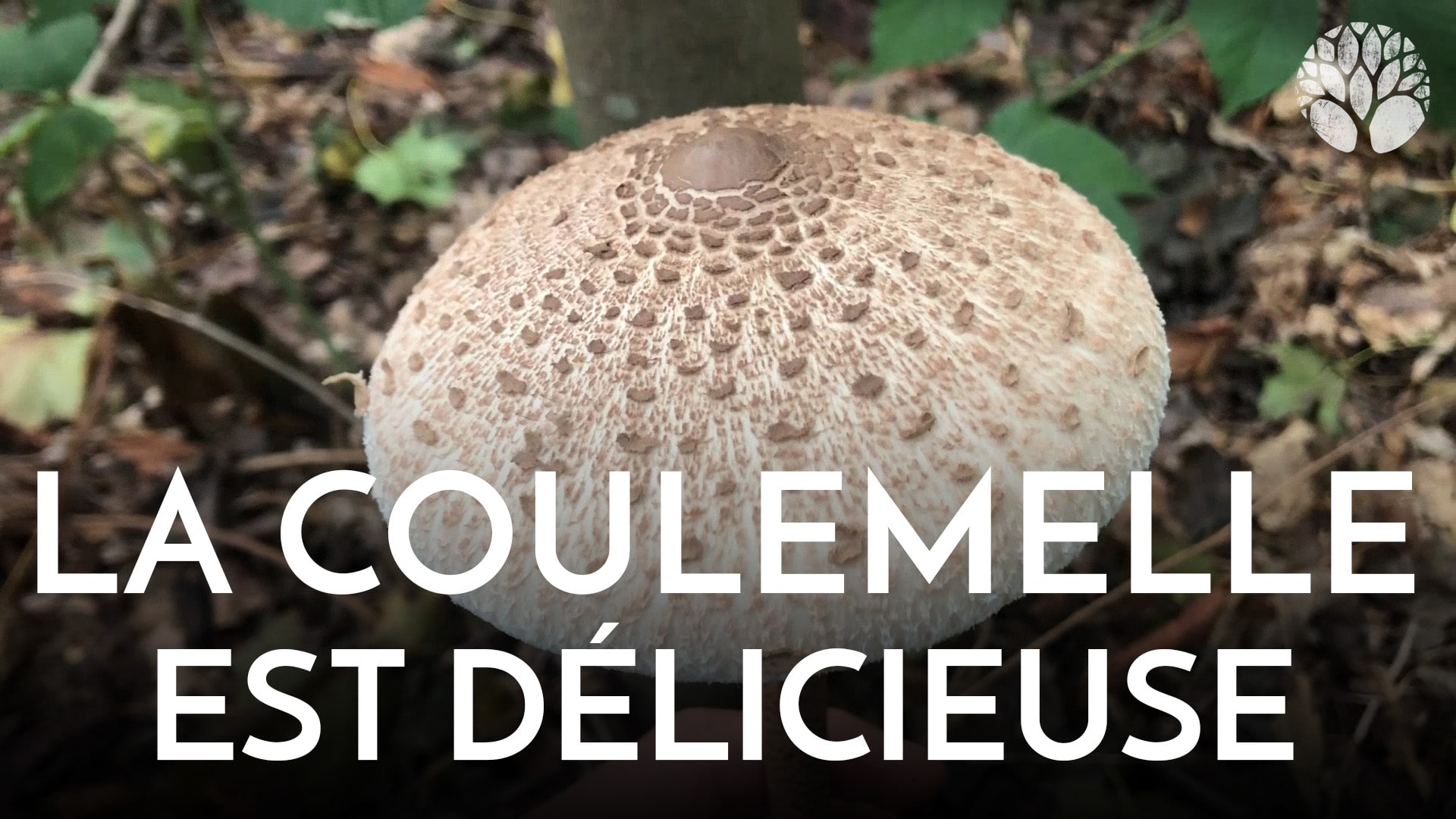coulemelle